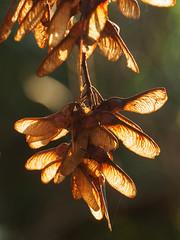 Seeds-EC240444 (tony.rummery) Tags: closeup em10 hoebridge mft macro microfourthirds omd olympus seeds surreyhills trees woking england unitedkingdom gb