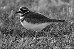 KILLDEER 30 (k.nanney) Tags: killdeer charadriusvociferous shorebirds plover waders bird texasbirds texaswildlife northcentraltexas joepoollake cedarhillstatepark dallascounty texas nikon d800 tamronsp150600mmf563divcusd kennethnanney kennanney nanney blackandwhite