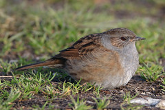 Dunnock (Prunella modularis) (markkilner) Tags: canon eos 80d dslr kent england kilner televue tv60 televue60 manualfocus telescope apo primefocus nature wildlife winterwatch groveferry stodmarsh nnr bird dunnock prunellamodularis