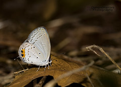 Indian Cupid (diamondwarrior) Tags: butterfly butterflies insect flyinginsects blues indiancupid sharp tacksharp sharpphoto indian india
