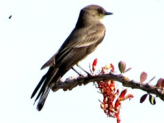 Bird and the bee (thomasgorman1) Tags: bee nature ocotillo branch mx mexico baja desert flycatcher