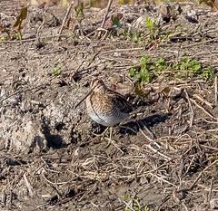 Common Snipe at RSPB Rainham Marshes