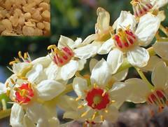 Purity. Boswellia sacra, Frankincense, Salalah, Dhofar, Oman (Rana Pipiens) Tags: frankincense honey resin boswelliasacra museumsalalahdhofaroman purification