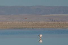 2017-11-09_0732_DSC_0686a (becklectic) Tags: 2017 atacamadesert atacamasaltflat birds chile flamingoes lagunachaxa lake piedrasrojastour regióndeantofagasta reservanacionallosflamencos salardeatacama sanpedrodeatacama flamingo flamingos