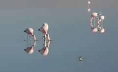 2017-11-09_0730_DSC_0673a (becklectic) Tags: 2017 atacamadesert atacamasaltflat birds chile flamingoes lagunachaxa lake piedrasrojastour regióndeantofagasta reservanacionallosflamencos salardeatacama sanpedrodeatacama flamingo flamingos