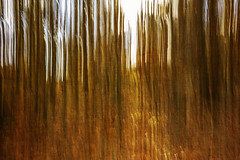 in the birch woods (Redheadwondering) Tags: sonyα7ii grovelywood wiltshire woods trees sonyf1450mmlens beeches red orange greatwishford icm intentionalcameramovement abstract texture