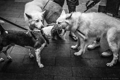 dog social, Manly beach, Sydney 2015  #130 (lynnb's snaps) Tags: 35mm c41 iiic ltm leica leicaiiic manly summicron5cmf2ltm bw dogs film street 2015 manlybeach sydney australia greeting socialising leash rituals behaviour leicafilmphotography chromogenicfilm kodakbw400cn processc41 blackandwhite bianconegro biancoenero blackwhite bianconero blancoynegro noiretblanc schwarzweis monochrome ishootfilm