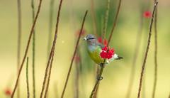 Purple-rumped Sunbird (Srinath P Reddy) Tags: aug2018 srilanka yala yalaadventureresort tissamaharama hambantotadistrict lk purplerumped sunbird canonef100400mmf4556lisiiusm canon5dmkiv birding naturephotography