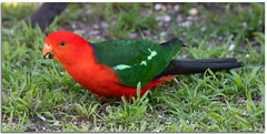 King Parrot (Bear Dale) Tags: king parrot nikkor afs 200500mm f56e ed vr teleconverter tc14e iii nikon d850 ulladulla southcoast new south wales shoalhaven australia beardale lakeconjola fotoworx milton nsw nikond850 photography framed nature red green beak sunflower seed grass grasses seeds