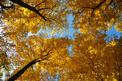 cathedral in the woods (christiaan_25) Tags: maple maples tree trees tall up lookingup upatree yellow gold golden leaves fall autumn sky woods forest nature outside outdoors