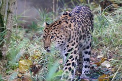Amur Leopard......... (law_keven) Tags: amurleopard lyon france animals wildlife wildlifephotography photography leopards leopard animalphotography lyonzoo