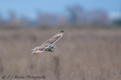 Short eared owl   Asio flammeus (ian._harris) Tags: d7200 nikon sigma 500mmf405 wildlife nature owl shorty short bird fen birdofprey asioflammeus