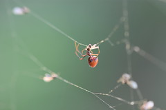 Argyrodes comensal de Argiope bruennichi (esta_ahi) Tags: penedès santcugatsesgarrigues telaraña arachnida fauna argyrodes dewdropspider arañagotasderocío cleptoparásita theridiidae comensales comensalismo aranya araña spider barcelona españa spain испания