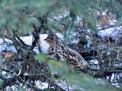 Brown-Lowery PP / Cross Conservancy Short Walks - Ruffed Grouse, Brown-Lowery (benlarhome) Tags: brownlowery crossconservancy braggcreek alberta canada hike hiking trek trekking trail path winter