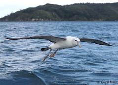 White-capped Albatross (Greg Miles) Tags: whitecappedalbatross