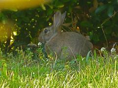 Un intrus dans le jardin. (caramoul25) Tags: jardin lapin caramoul25