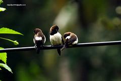 IMG_6224 White-rumped Munia (Lonchura striata) (vlupadya) Tags: greatnature animal aves fauna indianbirds whiterumpedmunia lonchura kundapura karnataka