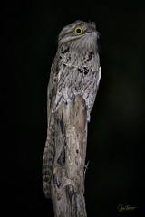 Bruja (Nyctibius jamaicensis) - Northern Potoo (Juan Alberto Taveras) Tags: bruja nyctibius jamaicensis northern potoo bahoruco sierra