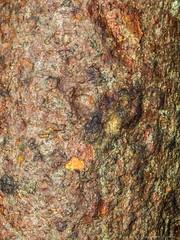 Gumbo Limbo Tree bark (Bursera simaruba) (N3ptun0) Tags: angiospermae angiosperms burserasimaruba burseraceae enp evergladesnationalpark floweringplant magnoliophyta nationalpark nature park plant plantae texture turpentinetree angiospermas chaca copperwood gumbolimbo torchwood