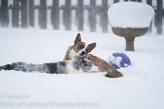Snow Corgis 5 (Kenjis9965) Tags: sel70200gm sony70200mmf28gm sonya7iii sony a7 iii mark 70200mm f28 gm g master cardigan welsh corgi corgo doggo doge pupper playing snow winter having fun deep polar vortex outside puppy dog ball