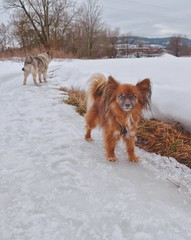 Out on a Walk (Alexis Kaylen) Tags: chion dog papillon chihuahua cute small photogenic snow winter norway norge norsk norwegian