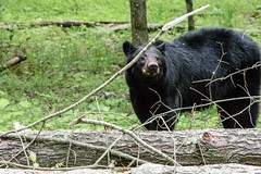 DSC_5336-2 (TDog54Photography / TCS Photography) Tags: black bear bears smoky mountains tennessee cades cove wildlife wild life animal american north america ursus americanus animals forest national park great