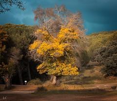autumn (lauracastillo5) Tags: fall autumn autumncolors autumnvibes tree forest nature outdoors landscape yellow sky sunset sunlight