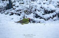 The European Green Woodpecker (charlottejarvis@live.co.uk) Tags: snow europeangreenwoodpecker woodpecker england uk bucks marlow