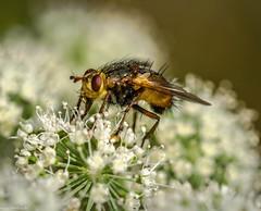 Sum Sum (Andi Fritzsch) Tags: fliege fliegen fly macro macrophotography insect insekten insectphotography closeup closeupphotography nature naturephotography flower flowers flowercolors flowerpower