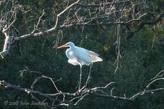 Great White Egret (Johnchess) Tags: richmondpark 2november2018 fridaybirdgroup