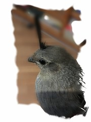 Little Lost Quail (Carla Putnam) Tags: quail arizona az arizonaquail gamebird bird peoria peoriaaz peoriaarizona arizonabird birdinthehand