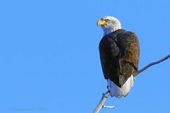 Eagle Eye... (danielusescanon) Tags: baldeagle animal perched wild palmer alaska mature haliaeetusleucocephalus accipitriformes accipitridae