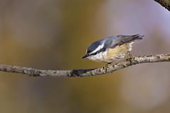 female nuthatch (G_Anderson) Tags: missouri yard birds birding backyard winter urban red breasted nuthatch migration irruption