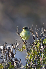 Willow Warbler (Phylloscopus trochilus) (Brian Carruthers-Dublin-Eire) Tags: willow warbler phylloscopus trochilus willowwarbler phylloscopustrochilus old world warblers phylloscopidae pouillot fitis mosquitero de los sauces ceolaire sailí oldworldwarblers pouillotfitis mosquiterodelossauces ceolairesailí bird animalia animal wildlife aves avian tree leaf birdwatch birdwatching wood flower grass creature outdoor