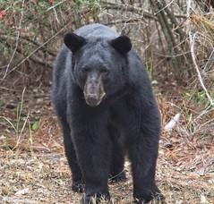Ursus americanus (MJRodock) Tags: olympus em1 mzuiko digital ed 40150mm f28 bear ursus black woods mammal
