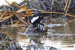 (076) Bird - Duck - Hooded Merganser - Blythburgh Estuary (NikonJeremy) Tags: hoodedmerganser blythburgh riverblyth duck blythestuary