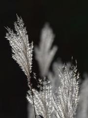 Reeds in backlight. (alterahorn) Tags: microfourthirds mft bokeh dof telekonverter mzuikomc14 mc14 dxo teleobjektiv 300mm zuiko mzuiko olympuspro olympusmzuiko300mm olympusomdem1markii olympus naturfotografie nahaufnahme closeup gegenlicht gräser backlight weeds reeds