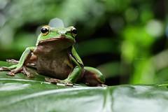 2J4A8060 (ajstone2548) Tags: 12月 樹蛙科 兩棲類 翡翠樹蛙