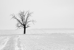 Désolation hivernale - Wintry desolation (olivier_kassel) Tags: paysage landscape arbre tree neige snow champs fields nb bw noiretblanc blackandwhite highkey minimalism hiver winter
