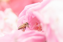 Honeybee (Arun Ramanan) Tags: arunramanansphotography honey bee honeybee nature mothernature activity beauty flowers roses rose pink highkey instamag instapic insect picoftheday farmersfriend organic food