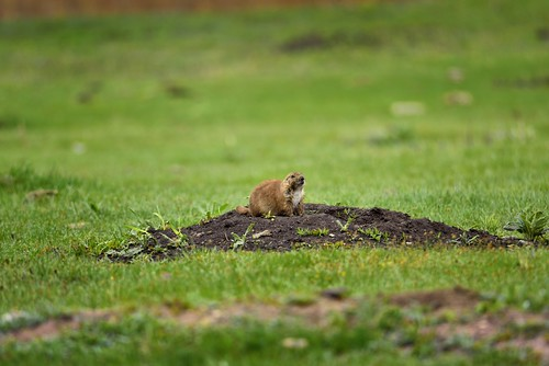 A Communicative Prairie Dog in Custer State Park