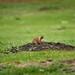 A Communicative Prairie Dog in Custer State Park