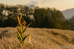Alone in the field (darko.jakovac) Tags: nikon nikond7100 d7100 tamron tamron70300 telephoto dof beauty beautiful nature slovenia slovenija slowenien dolenjska scenery idyllic scenic season view unique perfect superb magnificient stunning field travel explore discover photography perspective colors surrounded morning popcorn tree backlight countryside outdoor outdoors outside landscape beautifulview relax viewpoint ngc seasonal freedom vibrant colorful environment explorers impressions postcard trails wallpaper sceneryunique