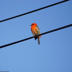 Sur Le Fil... (SabineLacombe) Tags: rouge oiseaux laréunion iledelaréunion plume bec cardinal