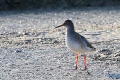 Redshank-7D2_0366-001 (cherrytree54) Tags: redshank wader bird rye harbour east sussex canon sigma 7d 150600