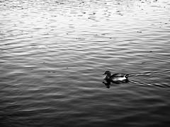 Hey up me duck! (AMcUK) Tags: norfolkbroads norfolk thebroads broads salhouse salhousebroad em10 em10ii em10mkii em10mk2 em102 omdem10 omdem10mkii omd olympusuk m43 micro43rds micro43 microfourthirds olympus olympusdigital olympusdigitalcamera olympusomd bw blackandwhite mono monochromatic monochrome greyscale duck waterfowl duckie ducky 1442mmolympusm1442mmf3556ezm1442mmf3556ez 1442mmf3556ez f3556