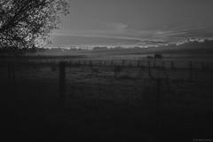 """in de vroege ochtend"" (B.Graulus) Tags: landscape bertem belgium monochrome blackandwhite morning horses fields foggy"