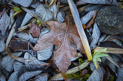 Frosty Foliage (s.d.sea) Tags: frost frozen kirkland washington washingtonstate wa eastside fall autumn winter freeze cold macro pentax k5iis 35mm pacificnorthwest pnw morning outdoors garden nature still life foliage leaves
