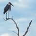 Marabou Stork - Leptoptilos crumenifer, Gorongosa National Park, Mozambique