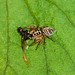 Jumping Spider (Thyene sp.) with prey